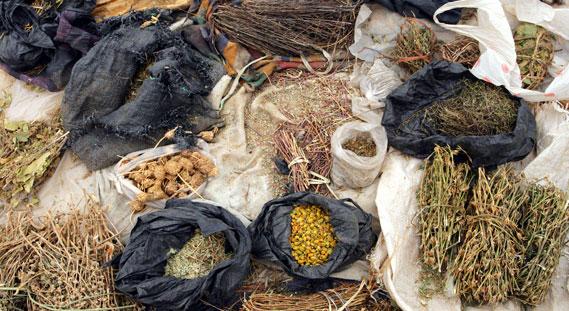 الأعشاب الطبية في المغرب